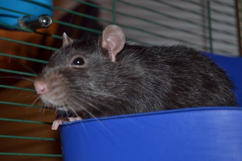 Rat fatigué Dsc_0111