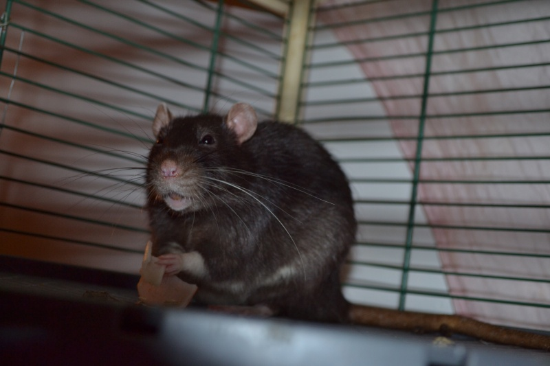 Rat fatigué Dsc_0112