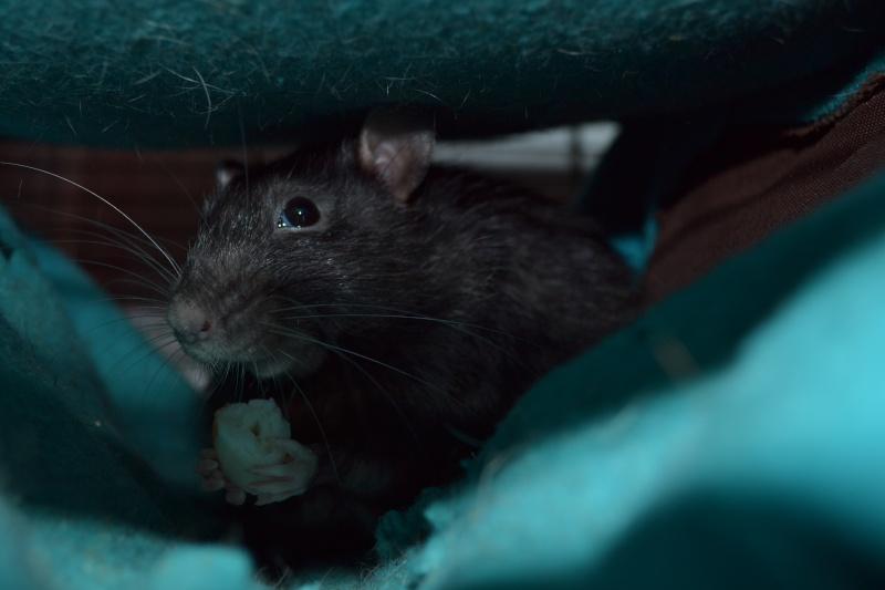 Rat fatigué Dsc_0113