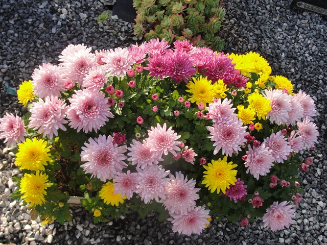 chrysanthèmes à gogo Dsc08010