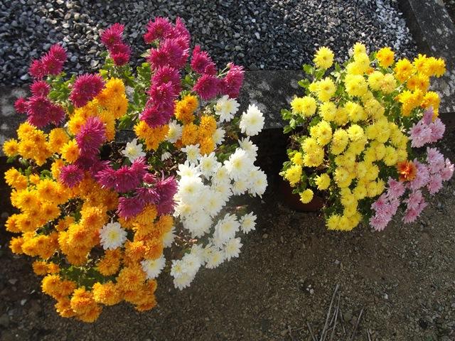 chrysanthèmes à gogo Dsc08011