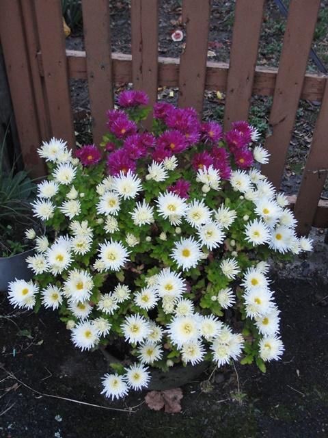 chrysanthèmes à gogo Dsc08012