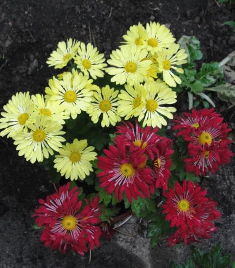 chrysanthèmes à gogo Dsc08013