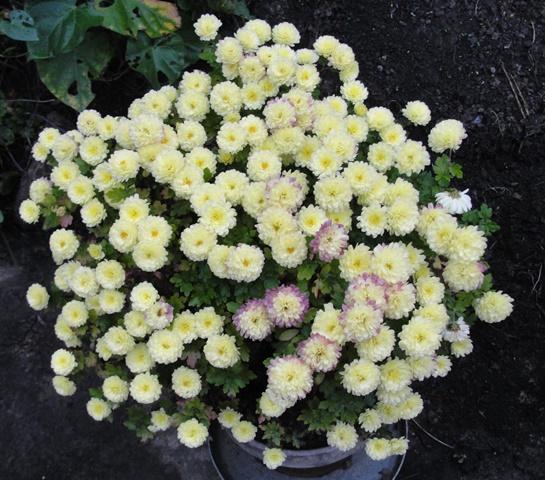 chrysanthèmes à gogo Dsc08014