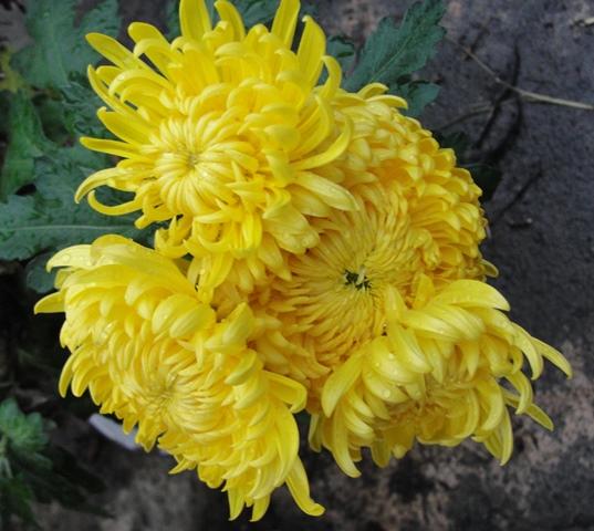 chrysanthèmes à gogo Dsc08015
