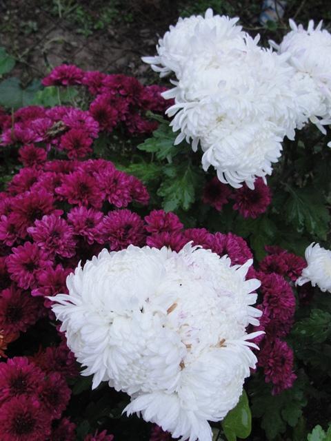 chrysanthèmes à gogo Dsc08016