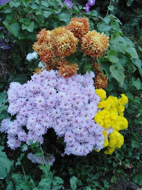 chrysanthèmes à gogo Dsc08017