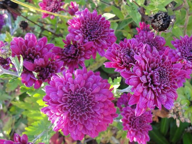 chrysanthèmes à gogo Dsc08018