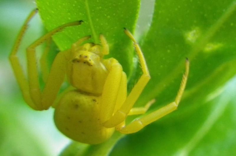 jolies araignées Imgp0511