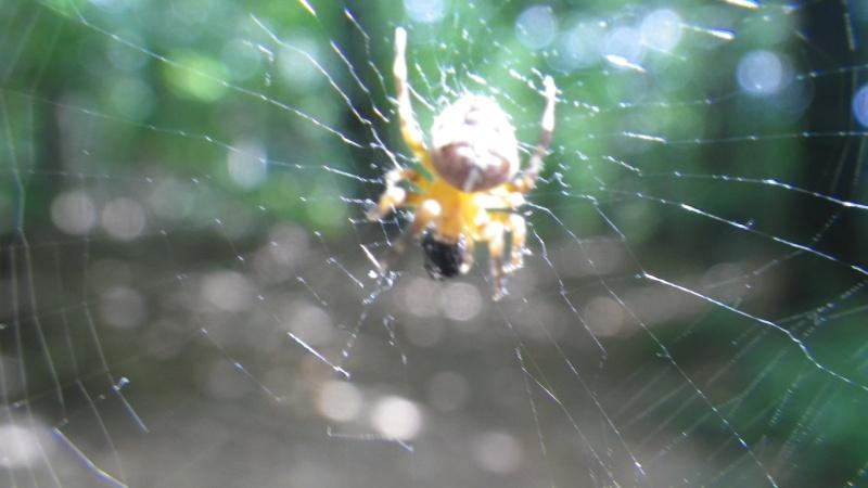 jolies araignées Imgp1713