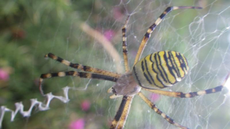 jolies araignées Imgp1714