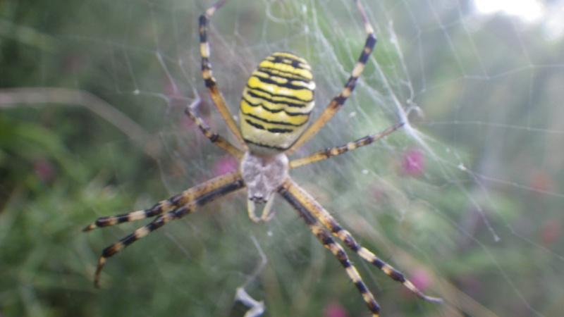 jolies araignées Imgp1715