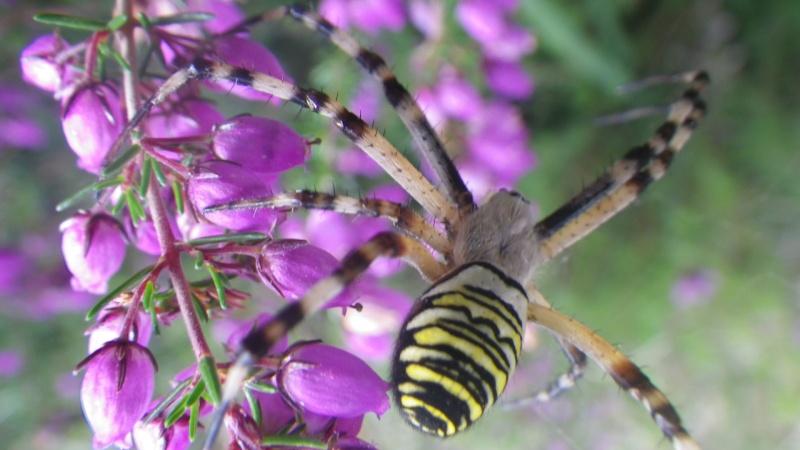 jolies araignées Imgp1716