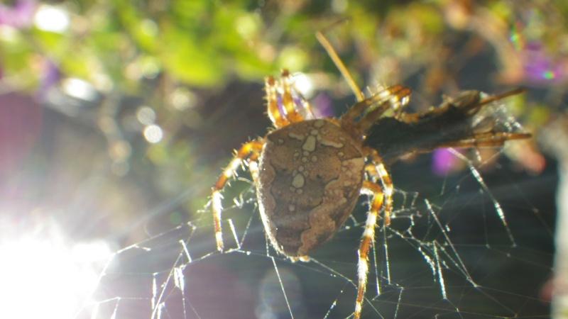 jolies araignées Imgp2824