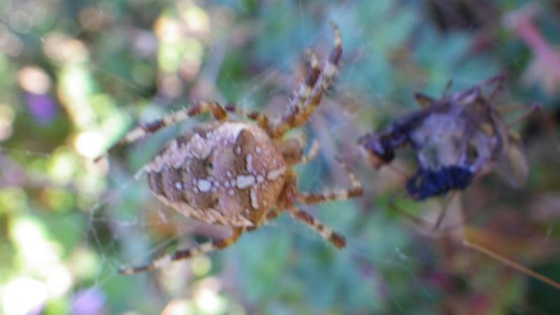 jolies araignées Imgp2825