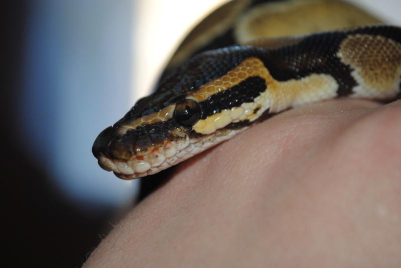 Mon python Ezio Dsc_1010