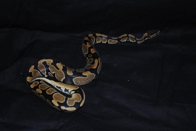 Mon python Ezio Dsc_1011