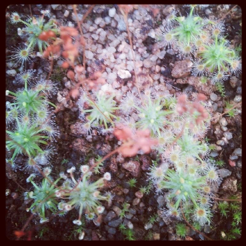 Australiennes Pygmas12