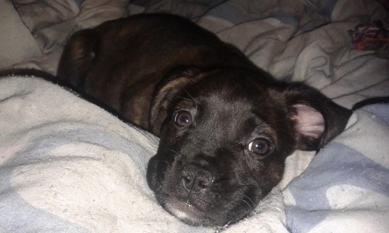 Croisé bouldogue fraçais - bulldog anglais ? 20141113