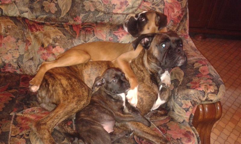 Croisé bouldogue fraçais - bulldog anglais ? 20141115