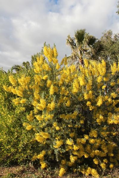 Acacia pravissima - mimosa A_cove10