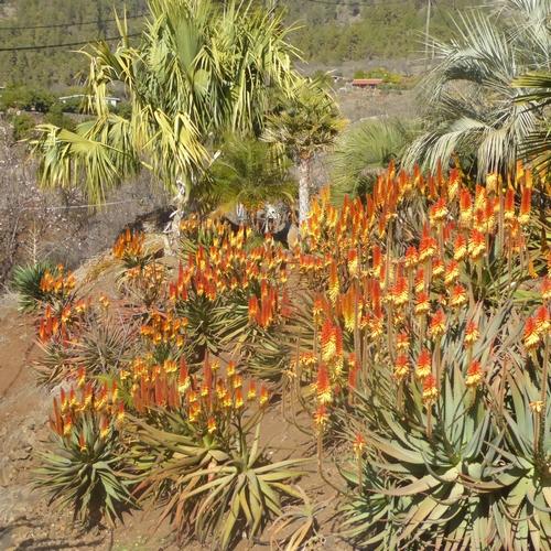Identification Aloe bicolore. Aloe_b10