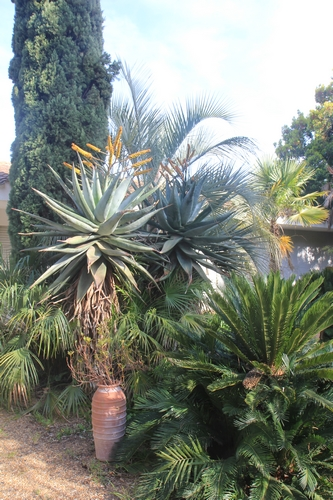 Pierre - Jardin d'acclimatation privé : l'Oasis (66) - Page 33 Aloe_m12