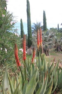 Pierre - Jardin d'acclimatation privé : l'Oasis (66) - Page 39 Aloe_r10