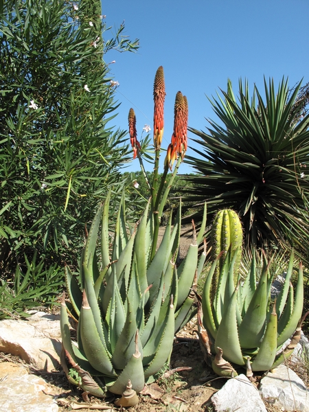 Aloe reitzii Aloe_r13