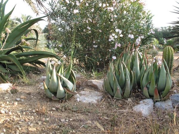 Aloe reitzii Aloe_r14