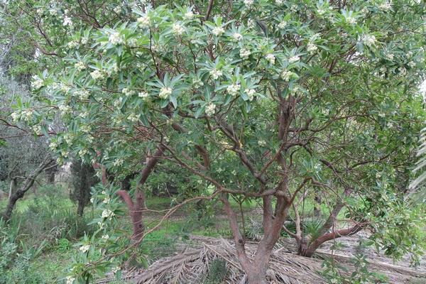 Arbutus x androsterilis Arbutu15