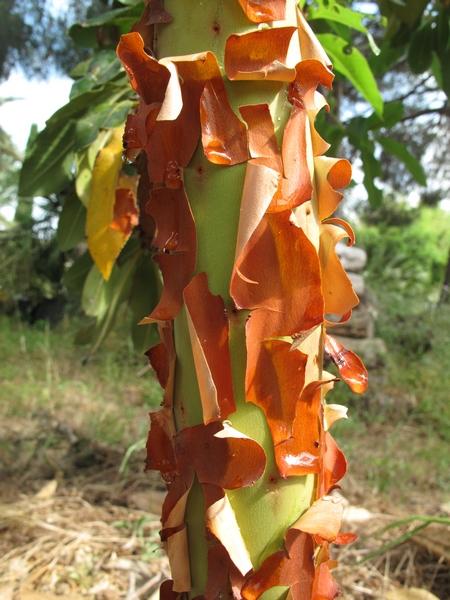Arbutus canariensis - arbousier des Canaries Arbutu19