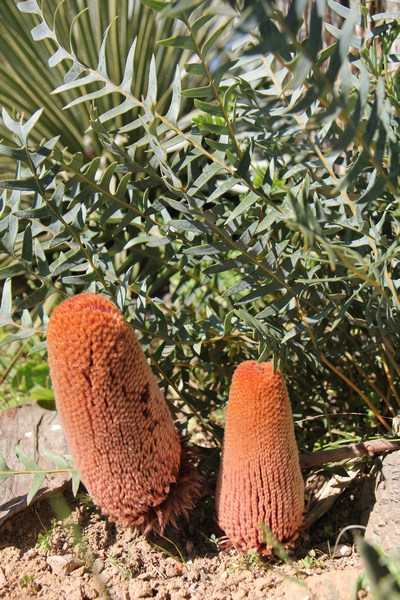 Banksia, le Genre. Banksi25