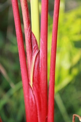 Thalia geniculata 'Red Stem' [devinette] Belle_10