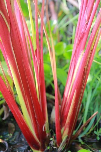 Thalia geniculata 'Red Stem' [devinette] Belles10