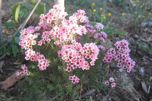 Chamelaucium uncinatum - fleur de cire - Page 2 Chamel10