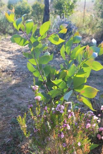 Chamelaucium uncinatum - fleur de cire - Page 2 Chamel11