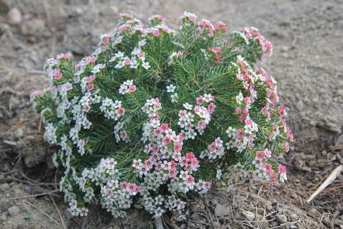 Chamelaucium uncinatum - fleur de cire - Page 2 Chamel12