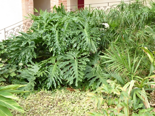 Philodendron bipinnatifidum - selloum - Page 3 Philos10