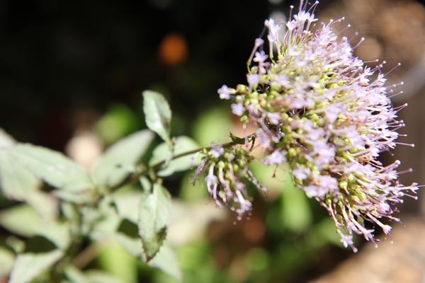 Trachelium caeruleum [identification] Plante10