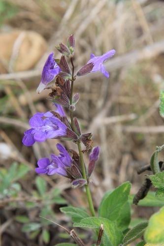 Salvia fruticosa Salvia11