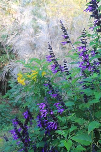 Pierre - Jardin d'acclimatation privé : l'Oasis (66) - Page 36 Salvia12