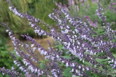 Salvia - les floraisons du moment - Page 22 Salvia15