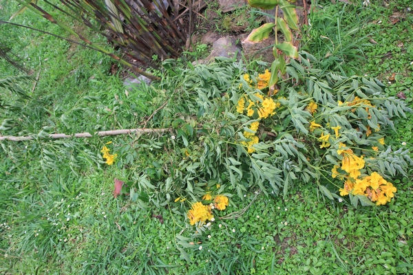 Tecoma castanifolia   Tecoma12
