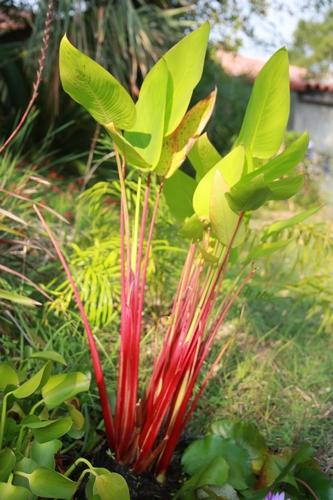 Thalia geniculata 'Red Stem' [devinette] Thalia10