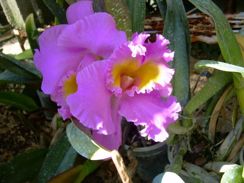 Cattleya en fleur INTERDIT A BOYOME Photo_54