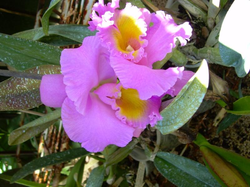 Cattleya en fleur INTERDIT A BOYOME Photo_55