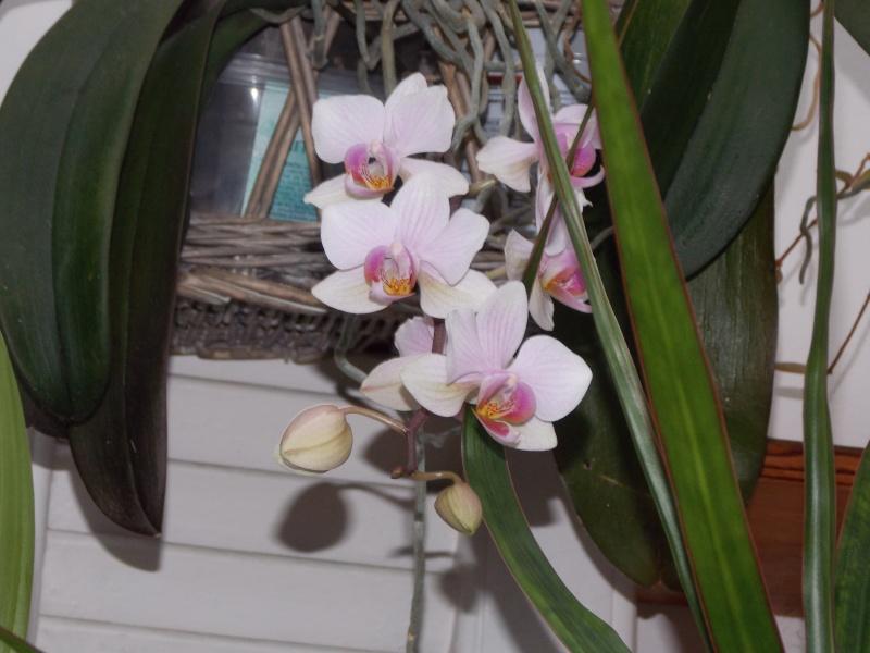 Mes orchidées 01911