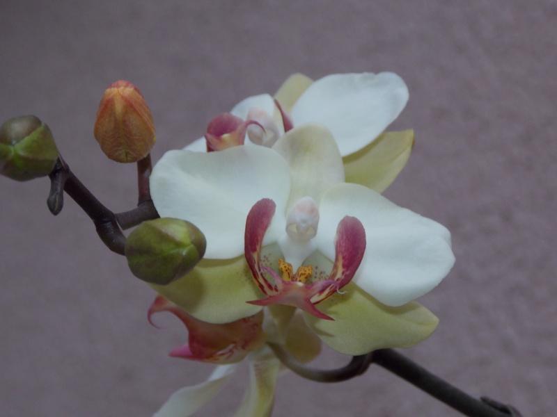 Mes orchidées 02112
