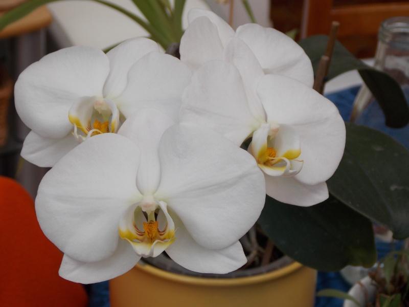 Mes orchidées 02611